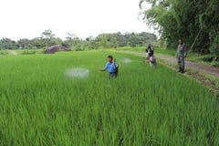 Indonezyjski Organicznie Uprawiać ziemię Fotografia Royalty Free