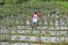 Indonezyjski Organicznie Uprawiać ziemię Fotografia Stock