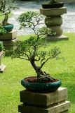 Indoor bonsai tree in a pot Royalty Free Stock Photo