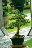 Indoor bonsai tree in a pot stock photography