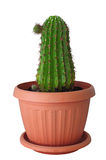 Indoor cactus in a brown pot. Isolated photo home cactus in a brown pot Stock Photo