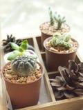 Indoor cactus garden. Stock Photography