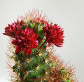 Indoor cactus stock image