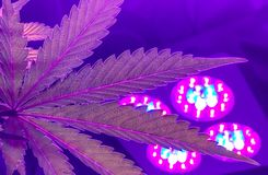 Indoor Cannabis growing Pink and Purple leaves stock photography