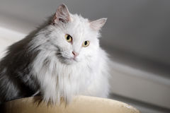 Indoor cat Stock Photography