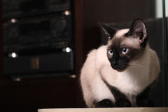 Indoor cat Royalty Free Stock Photography
