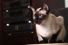 Free Indoor Cat Royalty Free Stock Photography - 9702597