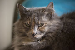 Indoor Cat. Grey cat resting peacefully indoors Royalty Free Stock Photos