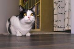 Indoor cat Royalty Free Stock Photos
