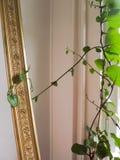 Malabar spinach basella rubra Royalty Free Stock Photos