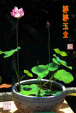 Indoor decorate Potted lotus Chinese calligraphy Stock Photo