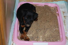 Indoor Doggy Potty Solution. Toilet training is one of the common challenges that pet owners face when they first adopt a new dog royalty free stock images