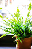 Indoor fern in a pot. Green indoor fern in a pot near a window Royalty Free Stock Photos