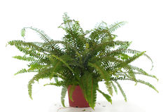 Indoor Fern on White Royalty Free Stock Photo