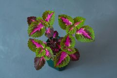 Indoor flower Coleus in a flowerpot on a gray background. Indoor flower Coleus in a flowerpot on a gray background Stock Image