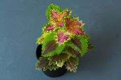 Indoor flower Coleus in a flowerpot on a gray background. Indoor flower Coleus in a flowerpot on a gray background Royalty Free Stock Image