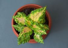 Indoor flower Coleus in a flowerpot on a gray background. Top view Stock Photo
