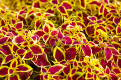 Indoor flower coleus, yellow, red, maroon leaves, natural, natur Royalty Free Stock Images