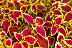 Indoor flower coleus, yellow, red, maroon leaves, natural, natur Royalty Free Stock Photo