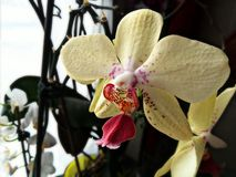 Indoor flower color orchidea Stock Photography