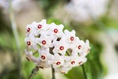 Indoor flower Hoya or Wax ivy. Abstract photo stock photo