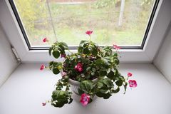 Indoor flower in a pot on the windowsill. Indoor flower in a pot on the windowsill Royalty Free Stock Images