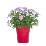 Indoor flower in a red flowerpot Royalty Free Stock Images