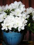 Indoor flower white azalea in a pot royalty free stock image