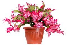 Indoor flowering plant stock image