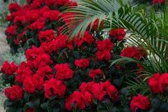 Indoor garden red poinsettias greenery. Brick walkway indoor garden red poinsettias green plants stock photo