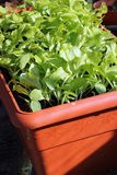 Indoor gardening-lettuce seedlings. Stock Photography