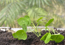 Indoor Gardening Nasturtium Seedlings in a Greenhouse Stock Images
