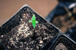 Californian Cannabis Seedling, I Give Thanks For New Life. Royalty Free Stock Photos