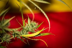 Orange Apricot Medical Cannabis Strain Royalty Free Stock Photo