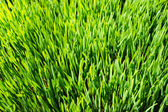 Indoor grown wheatgrass from close Stock Image