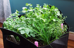 Indoor herb garden. Indoor heb garden with thyme, chive, oregano, parsley and tomato plant Stock Photo