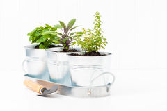 Indoor Herb Garden. Small herbs in a metal container to create a small indoor herb garden royalty free stock photography