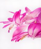 Indoor herb - purple flowers of Zygocactus buckleyi Royalty Free Stock Images
