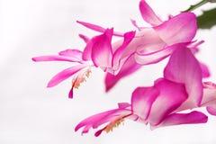 Indoor herb - purple flowers of Zygocactus buckleyi Stock Image