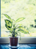 Indoor house dumb cane or Dieffenbachia green plant in pot on window sill Stock Photos