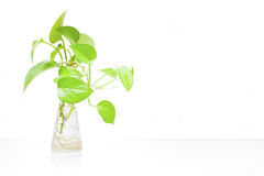 Indoor House plant Royalty Free Stock Image