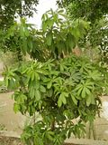 SCHEFLERA ARBORICOLA /HEPTAPLEURUM ARBORICOLA. INDOOR HOUSE PLANT, DWARF UMBRELLA TREE, SCHEFLERA AMATE, BRASSAIA ACTINOPHYLLA REFFERED TO AS OCTOPUS TREE Stock Image