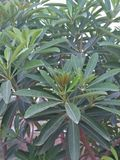 SCHEFLERA ARBORICOLA /HEPTAPLEURUM ARBORICOLA. INDOOR HOUSE PLANT, DWARF UMBRELLA TREE, SCHEFLERA AMATE, BRASSAIA ACTINOPHYLLA REFFERED TO AS OCTOPUS TREE Royalty Free Stock Image