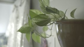 Indoor House Plant, Modern Interior. Indoor house plant shot handheld, in an interior modern, contemporary setting stock footage