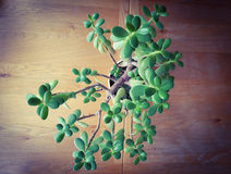 Indoor house plant. Taken from birds eye view on a wooden table Stock Images