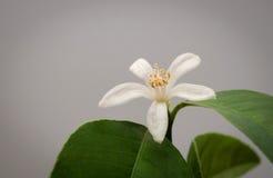 Indoor jasmin isolated flower on grey background Royalty Free Stock Photo