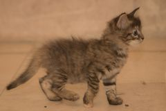 Small kitten walking Stock Images