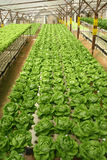 Indoor Letuce Farm Stock Photo