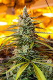 Indoor Marijuana bud under warm grow lights. Royalty Free Stock Image