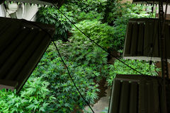 Indoor marijuana grow room Royalty Free Stock Images